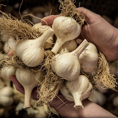 Garlic for Real Pickles Organic Garlic Kraut