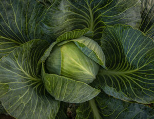 Atlas Farm cabbage